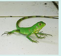young green iguana