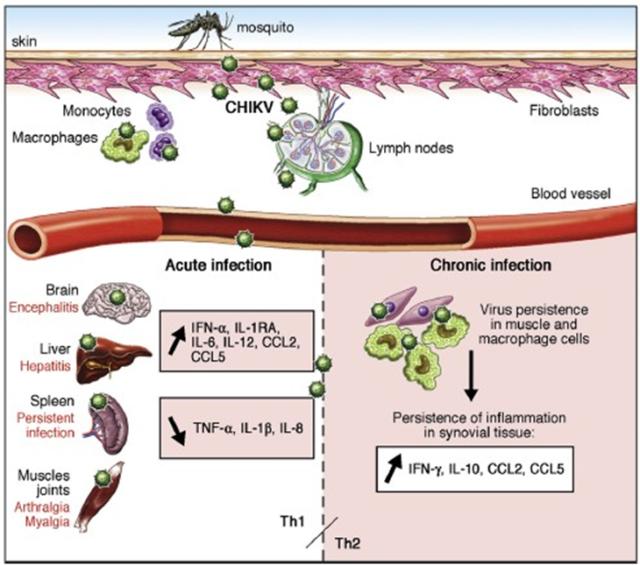 Chikungunya Viral Proteins