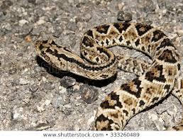 Neotropical Rattlesnake 2