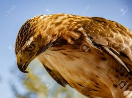 hawk staring